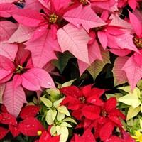 Have a Merry Ligonier Christmas