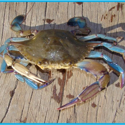 Chase the Blue Crab Trail by Lenzner Tours