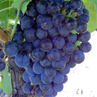 Amazing Grapes